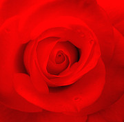 Platonic Prints - Red Rose Print by Jacqui Martin
