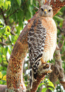 Denise Darby - Red Shoulder Hawk