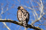 Jodi Terracina - Red Shouldered Hawk