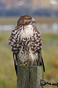 Red Tail Hawk Art - Red Tail Hawk 002 by Mark Simpson