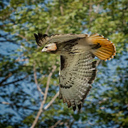 Connecticut Wildlife Prints - Red Tail Hawk Print by Bill  Wakeley