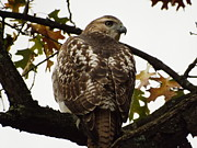 Red Tail Hawk Photo Posters - Red Tail Hawk Poster by Dennis Pintoski