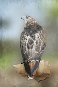 Kathy Rinker - Red Tail Hawk