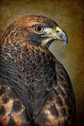 Robert Jensen Metal Prints - Red-tailed Hawk Buteo jamaicensis Metal Print by Robert Jensen