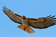 Mouse Art - Red-tailed Hawk  by Carl Jackson