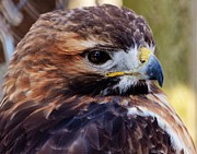 Lisa Hurylovich - Red Tailed Hawk II