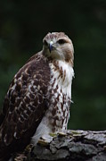 Red Tail Hawk Art - Red-tailed Hawk by Lee Roy