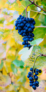 Blue Grapes Photos - Red Wine Grapes by Peter Wey