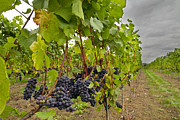 Cabernet Sauvignon Prints - Red Wine Vineyard Print by David Gn