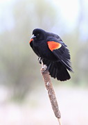 Blackbird Photos - Red-winged Blackbird by Angie Vogel