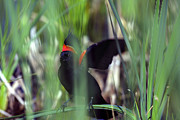 Steven Ralser Prints - Red-winged Blackbird Print by Steven Ralser