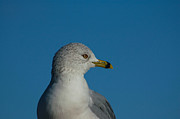 Paul OToole - Ring Billed gull