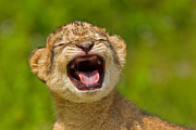 Precious Baby Posters - Roaring Practice Poster by Ashley Vincent