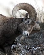 Ram Horn Art - Rocky Mountain Big Horn by Gary Langley