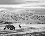 White Horses Framed Prints - Rocky Mountain Colorado Country Morning BW Framed Print by James Bo Insogna