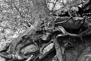 Tree Roots Photo Posters - Roots of life Poster by David Lee Thompson