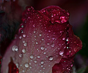 Carol Sawyer - Rose Tear Drops