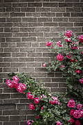 Climb Prints - Roses on brick wall Print by Elena Elisseeva