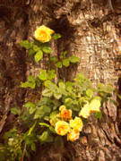 Seasonal Digital Art Metal Prints - Roses on Tree Bark Metal Print by Wim Lanclus