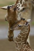 Kissing Photos - Rothschild Giraffe by San Diego Zoo