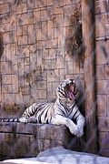 Rusty Jeffries - Royal White Bengal Tiger