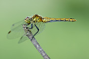 Mark Johnson - Ruddy Darter