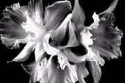 Ruffled Daffodils  Print by Marianne Dow