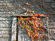 Grape Vines Art - Rustic Door 2 by Marsha Charlebois