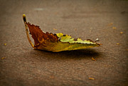 Fallen Leaf Photos - Sail Away by Odd Jeppesen