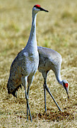Fauna Metal Prints - Sandhill Crane Pair Metal Print by Millard H. Sharp