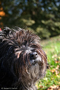 Cairn Terrier Photos - Scruffy by Susan Herber