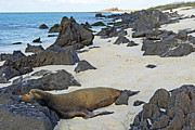 Sea Lion Sleeping On Beach Print by Sami Sarkis