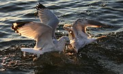 Fight Pyrography - Seagulls In Fight by Valia Bradshaw