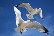 Flying Seagulls Originals - Seagulls in Love by Sheila Kay McIntyre