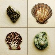 Composites Posters - Seashell Composite Poster by Darren Greenwood