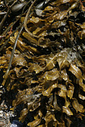 Maine Shore Prints - Seaweed Print by Cindi Ressler