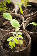 Sprouts Posters - Seedlings growing in peat moss pots Poster by Elena Elisseeva