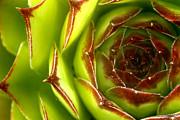 Mythja  Photography - Sempervivum macro
