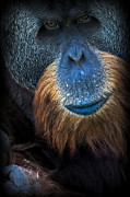 Orang-utan Framed Prints - Serious Ape Framed Print by Adrian Tavano