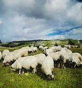 Sheep In The Field Print by Jelena Jovanovic