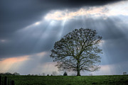 Oak Tree Photos - Shining Down by JC Findley