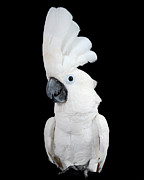 Pet Cockatoo Photos - Show-off by Paul Clavel