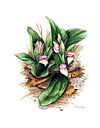 Bob  George - Showy Orchis