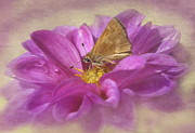 Dark Pink Framed Prints - Skipper on Dahlia Framed Print by Angie Vogel