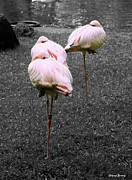 Selective Color Posters - Sleeping Flamingos Poster by Cheryl Young
