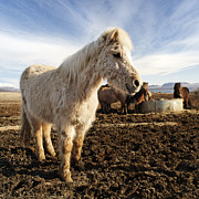 Horse Pastels Posters - Smiling icelandic horse Poster by Francesco Emanuele Carucci