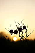 Sun Flower Framed Prints - Snakes head fritillary flowers at sunset Framed Print by Tim Gainey