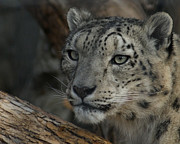 Snow Leopards Prints - Snow Leopard 14 Print by Ernie Echols