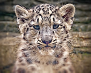 Chris Boulton - Snow Leopard Cub
