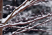 Snowflakes Metal Prints - Snowfall and tree Metal Print by Elena Elisseeva
